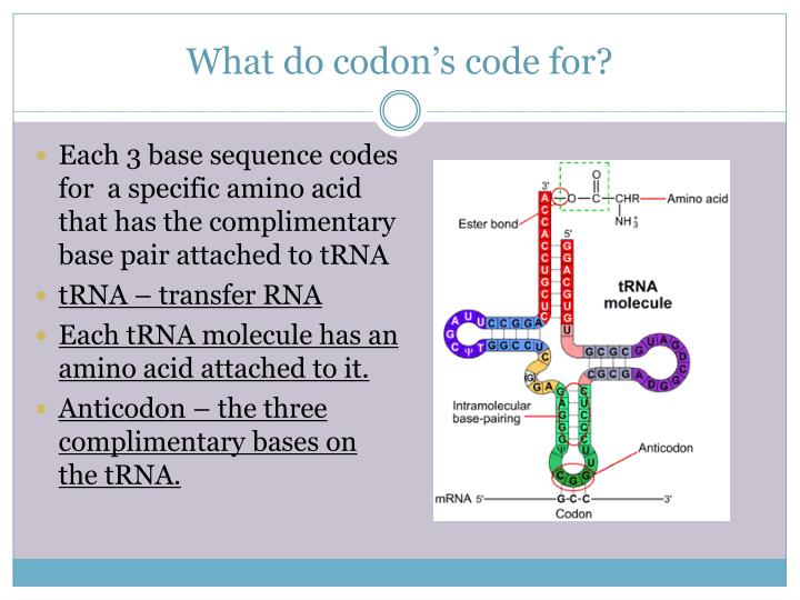 What do codon's code for?
