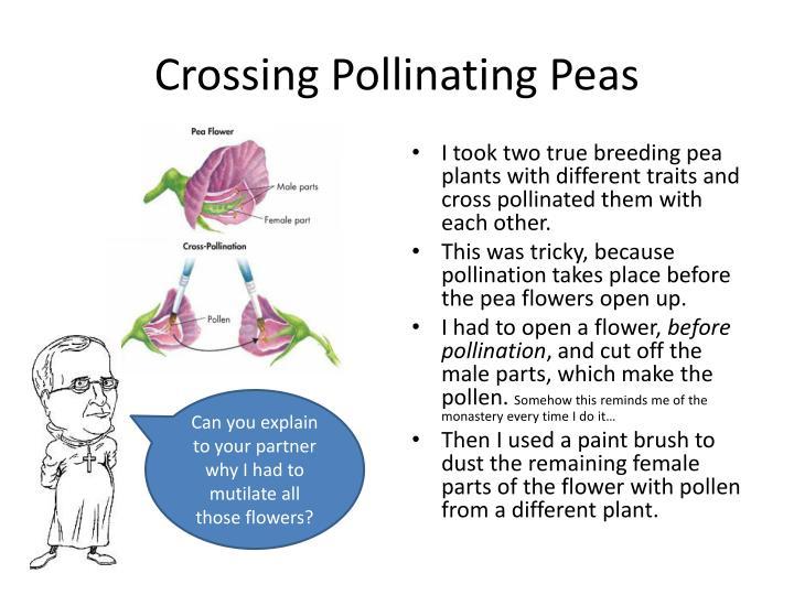 Crossing Pollinating Peas