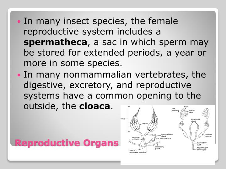 In many insect species, the female reproductive system includes a