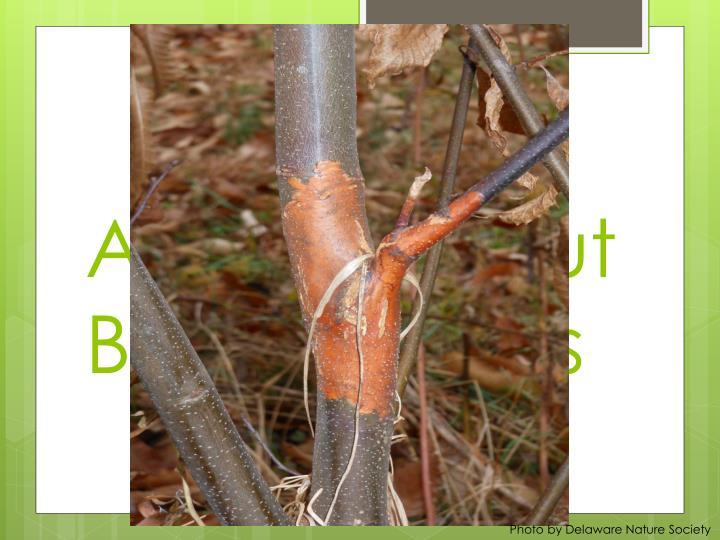 Asia Chestnut Blight Fungus