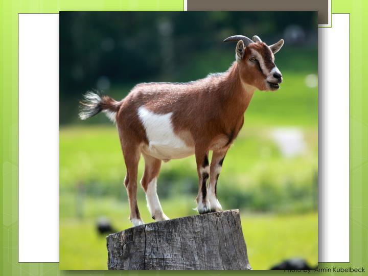 Goats of St. Helena
