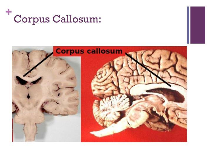 Corpus Callosum: