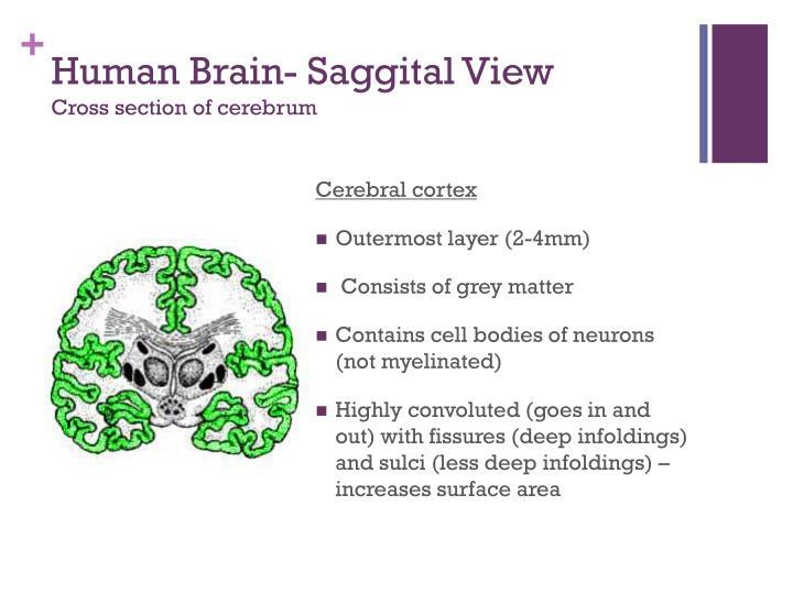 Human Brain-