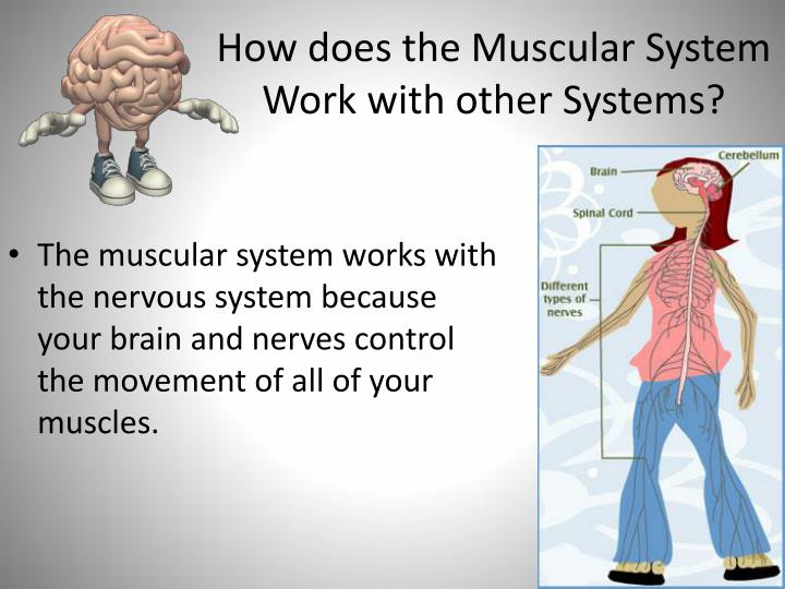 How does the Muscular System Work with other Systems?