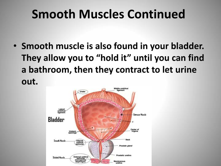 Smooth Muscles Continued