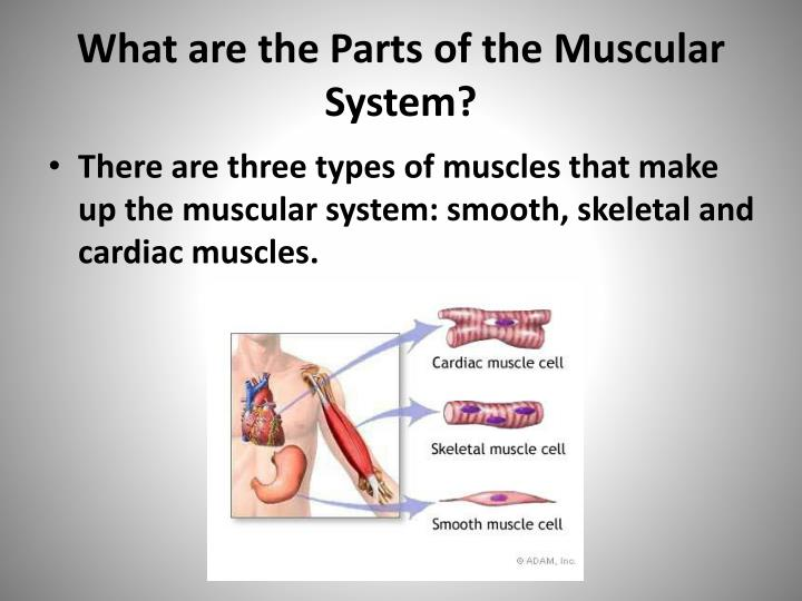 What are the Parts of the Muscular System?