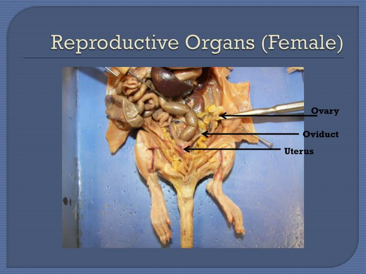 Reproductive Organs (Female)