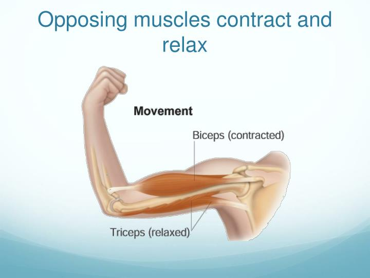 Opposing muscles contract and relax
