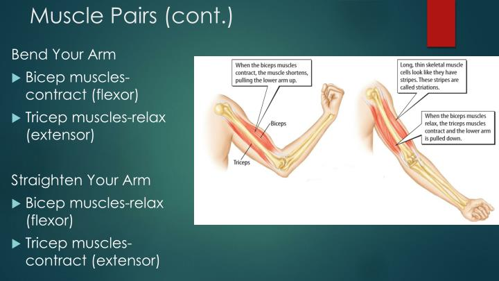 Muscle Pairs (cont.)
