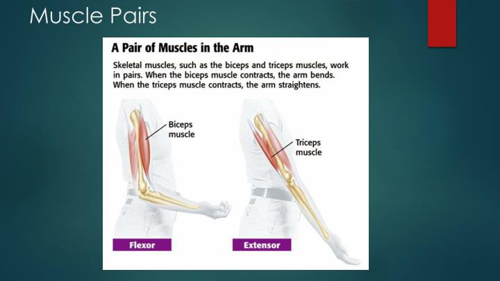 Muscle Pairs