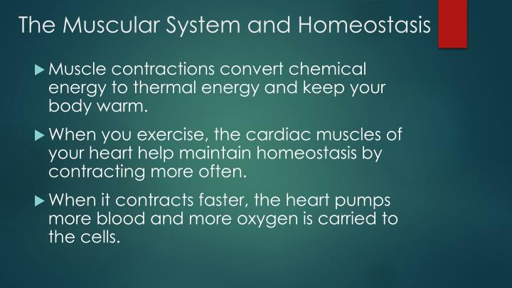 The Muscular System and Homeostasis