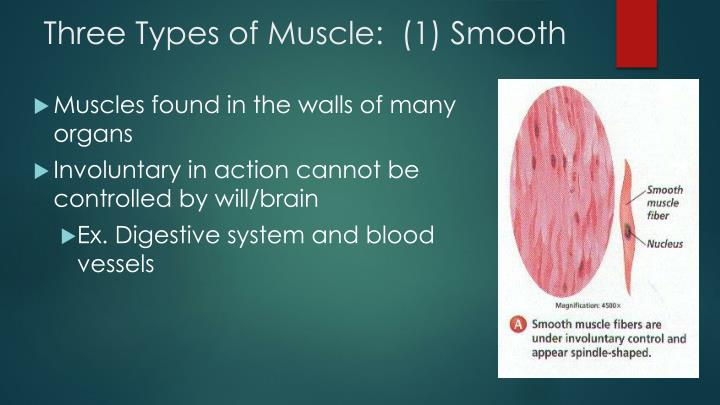 Three Types of Muscle:  (1) Smooth