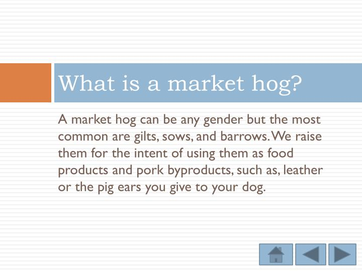 What is a market hog?