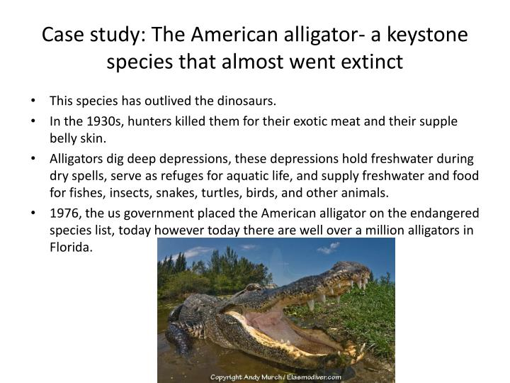 Case study: The American alligator- a keystone species that almost went extinct