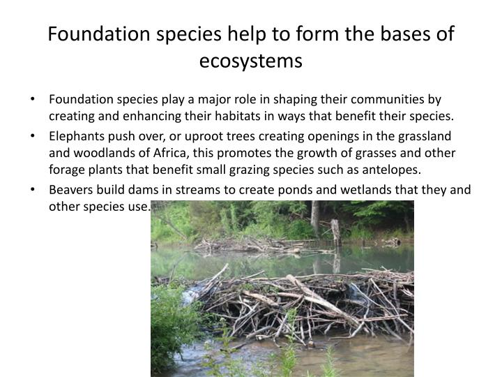 Foundation species help to form the bases of ecosystems