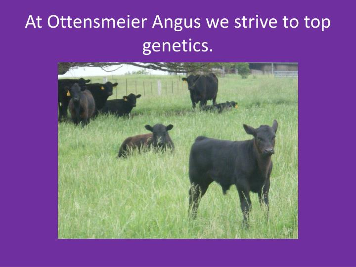 At Ottensmeier Angus we strive to top genetics.