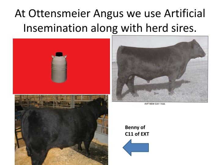 At Ottensmeier Angus we use Artificial Insemination along with herd sires.