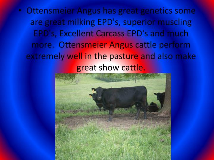 Ottensmeier Angus has great genetics some are great milking EPD's, superior muscling EPD's, Excellent Carcass EPD's and much more.  Ottensmeier Angus cattle perform extremely well in the pasture and also make  great show cattle.