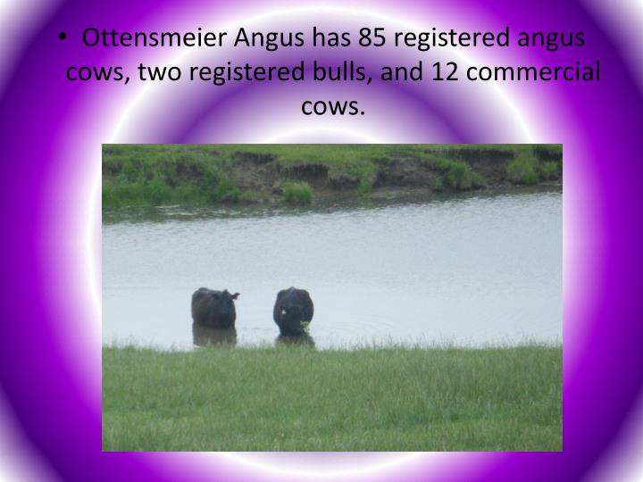 Ottensmeier Angus has 85 registered angus cows, two registered bulls, and 12 commercial cows.