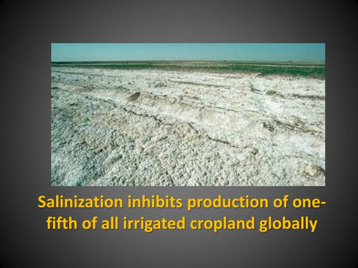 Salinization inhibits production of one-fifth of all irrigated cropland globally