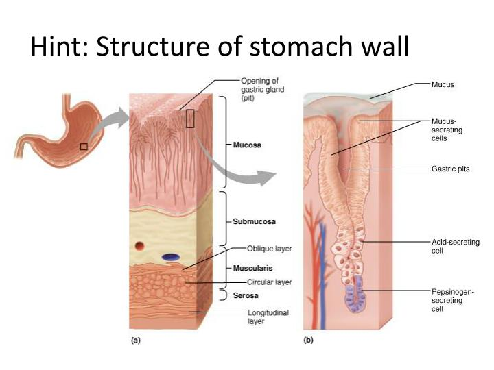 Hint: Structure of stomach wall