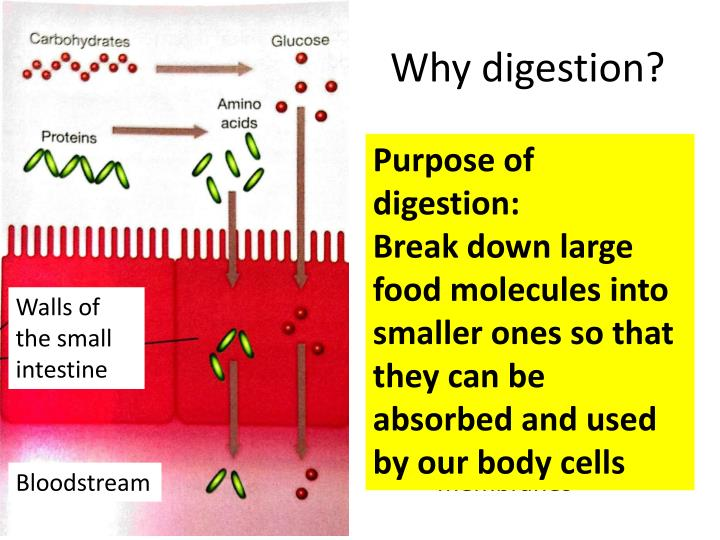 Why digestion?