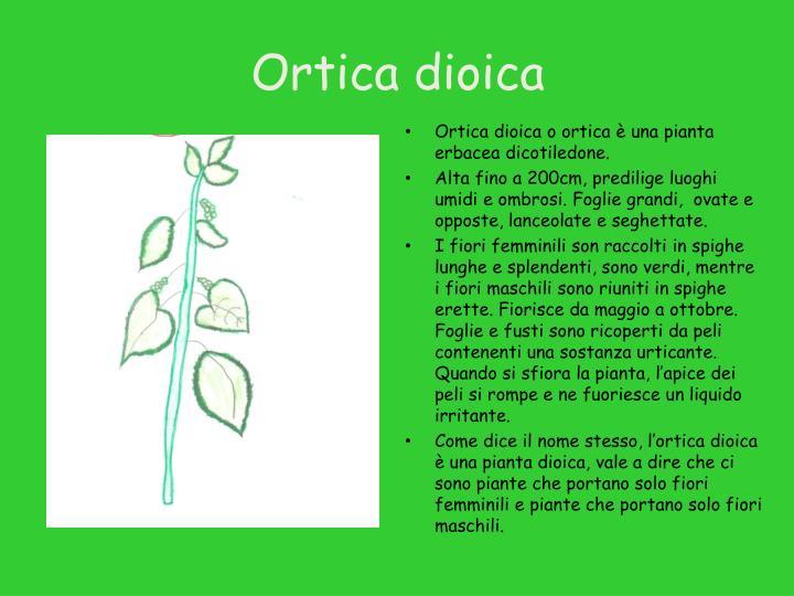 Ortica dioica