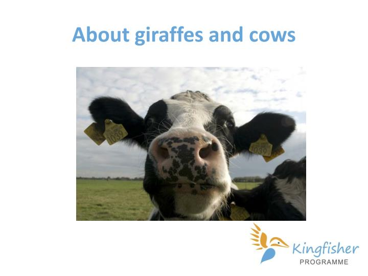 About giraffes and cows