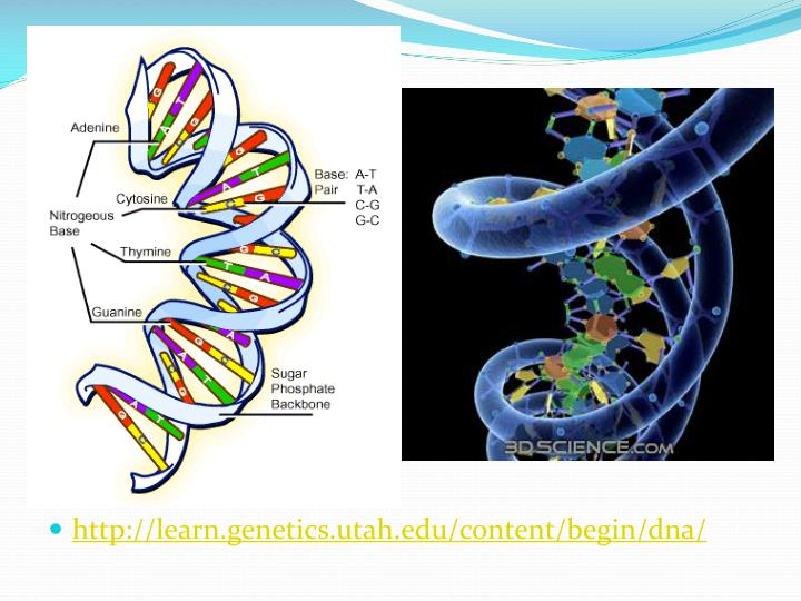 http://learn.genetics.utah.edu/content/begin/dna/