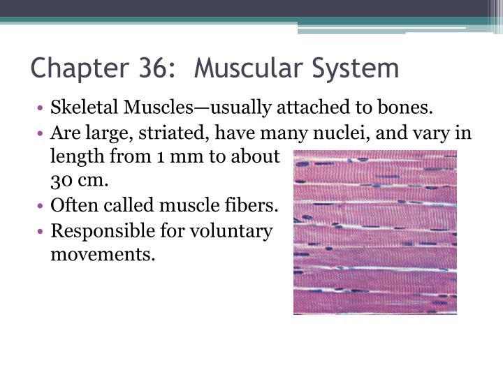 Chapter 36:  Muscular System