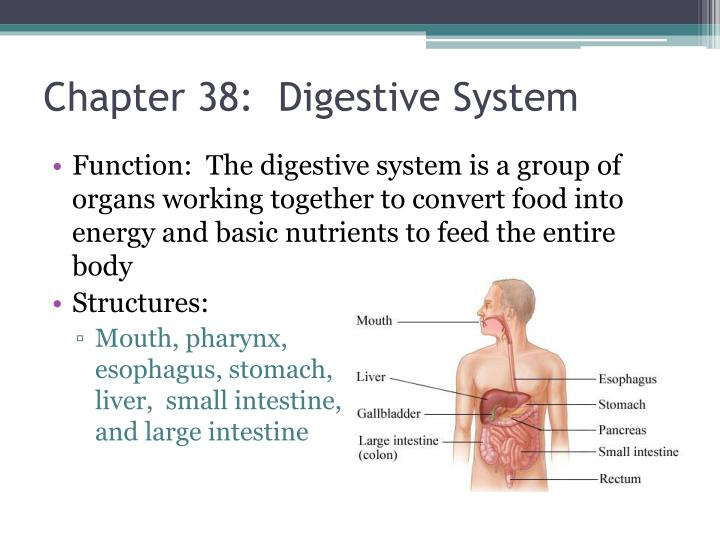 Chapter 38:  Digestive System