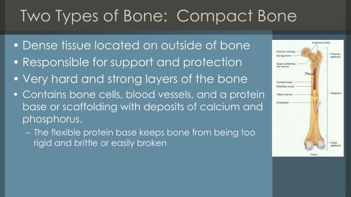 Two Types of Bone:  Compact Bone