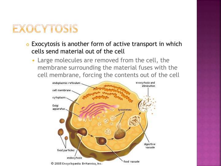 Exocytosis
