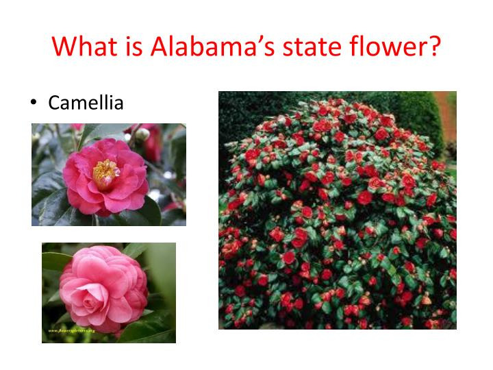 What is Alabama's state flower?