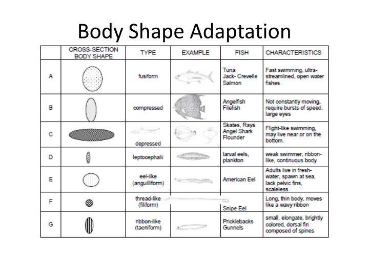 Body Shape Adaptation
