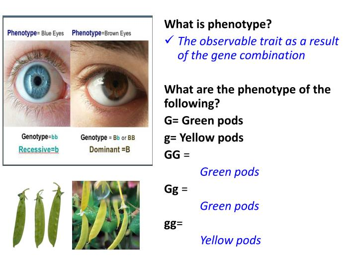 What is phenotype?
