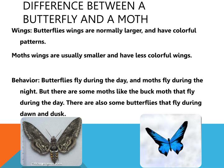 Difference between a butterfly and a moth