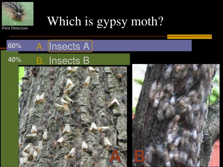 Which is gypsy moth?