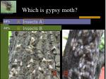 which is gypsy moth