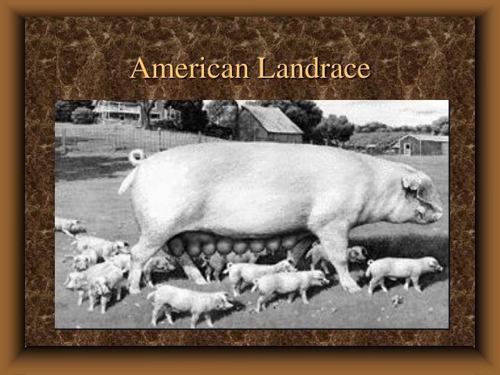 American Landrace