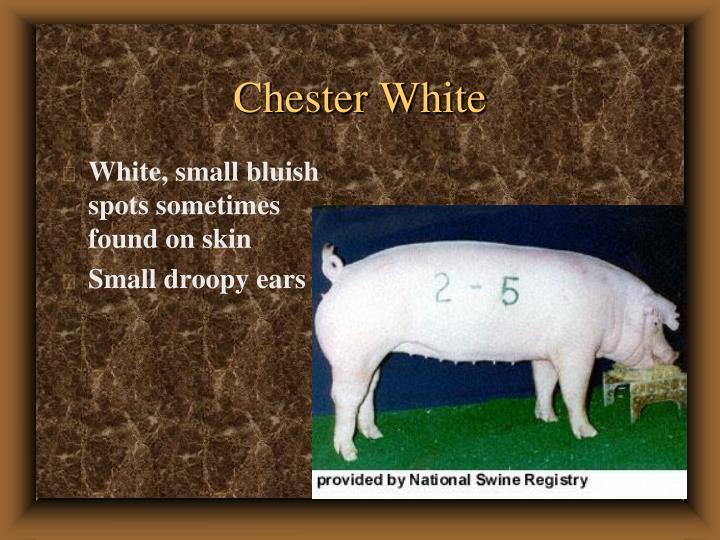 Chester White