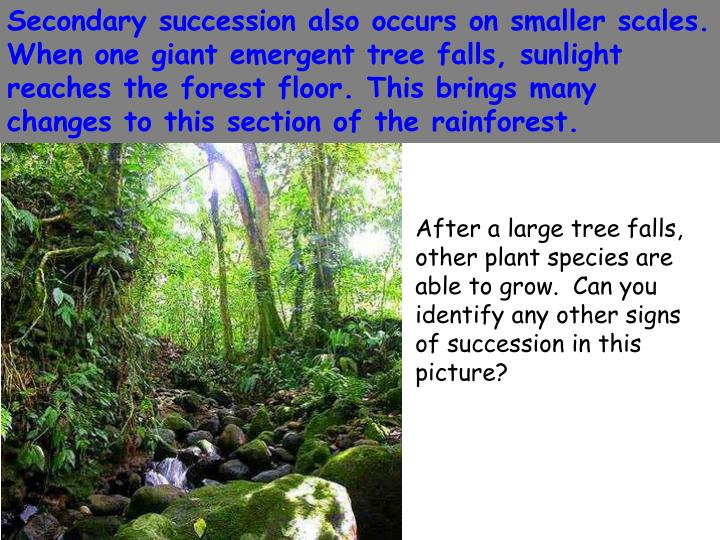 Secondary succession also occurs on smaller scales.  When one giant emergent tree falls, sunlight reaches the forest floor. This brings many changes to this section of the rainforest.