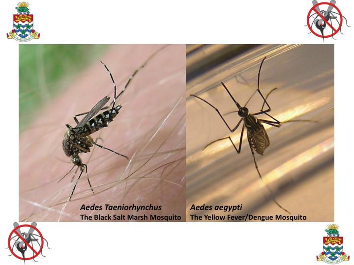 Aedes Taeniorhynchus              Aedes aegypti