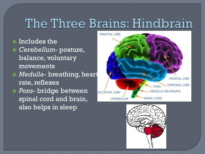 The Three Brains: Hindbrain