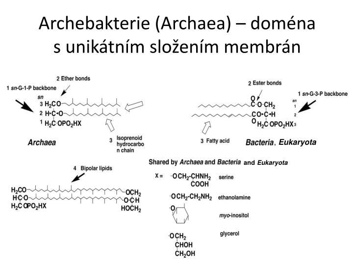 Archebakterie (Archaea) – doména s unikátním složením membrán