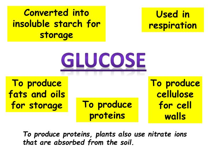 Converted into insoluble starch for storage