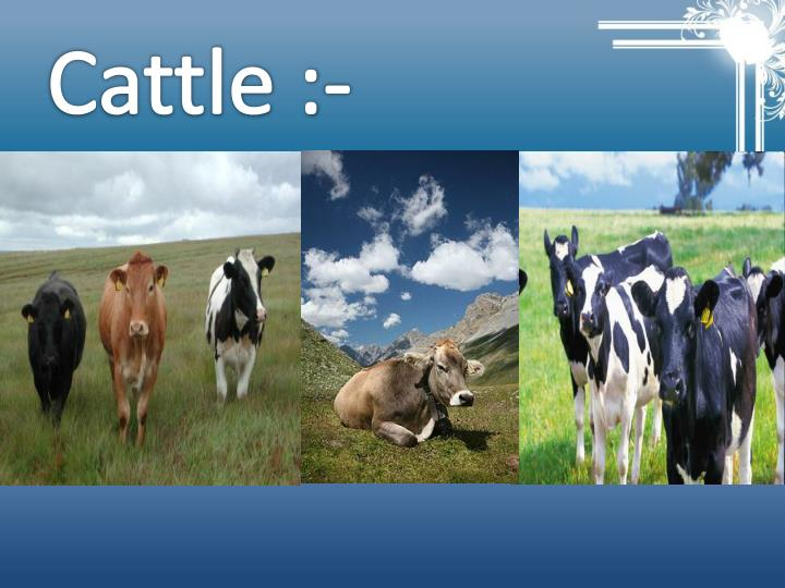 Cattle :-