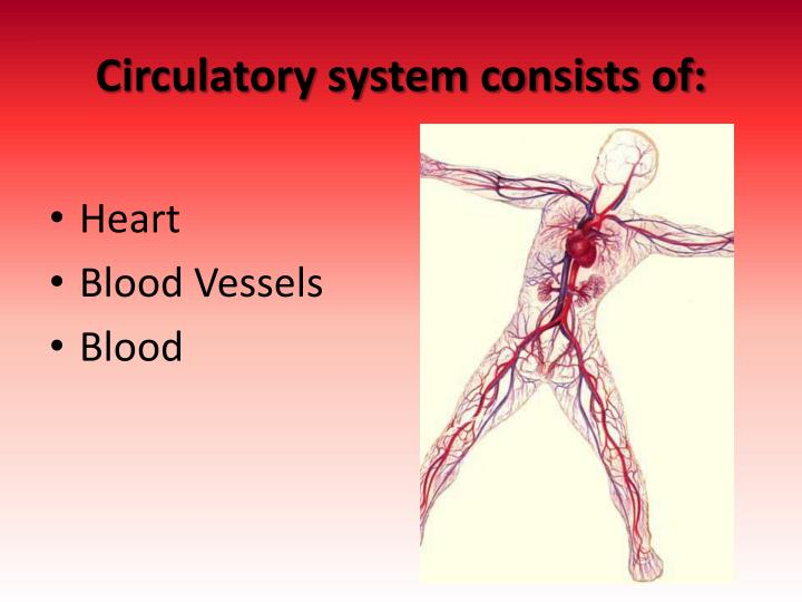 Circulatory system consists of