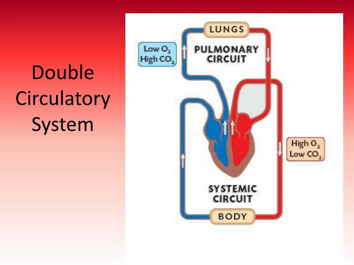 Double Circulatory System