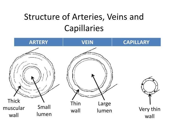Structure of Arteries, Veins and Capillaries